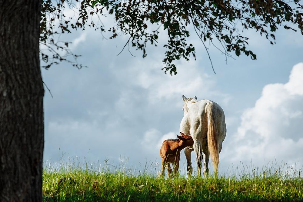 Fütterung bedarfsgerecht von Zuchtstuten, Deckhengsten und Fohlen (Teil 1)
