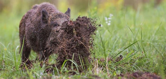 Schutz vor Wildschweinen und Wölfen