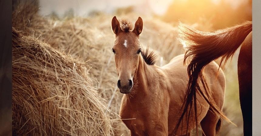 Fohlen brauchen ausreichend Bewegung, Artgenossen und die richtige Fütterung, um sich zu gesunden Sportpferden zu entwickeln.
